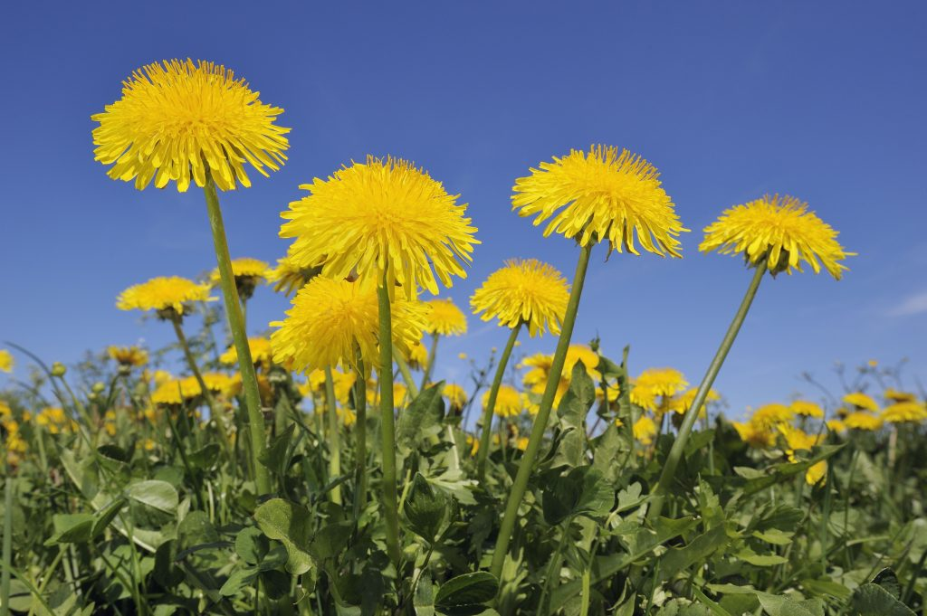 Wonderful Health Benefits of the Humble Dandelion